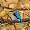 woodland kingfisher on a perch adjacent to a creek