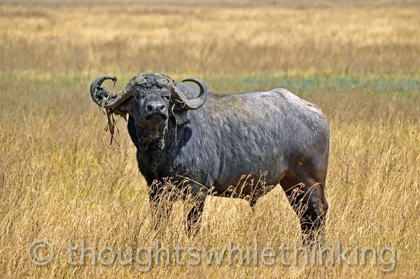 A solitary, sometimes grumpy, bull Cape buffalo.