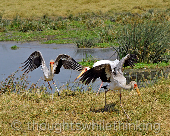 The somewhat younger yellow-billed storks give way to the older bird.