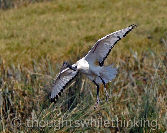 Sacred ibis landing at the edge of the hippo pool.