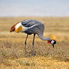 A grey crowned crane looking for seeds.