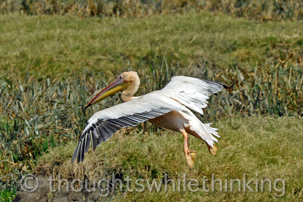 pelican with flaps and landing gear down on final approach