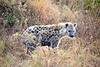 All of the following photos were shot in Ngorongoro Crater. Here is the spotted hyena.