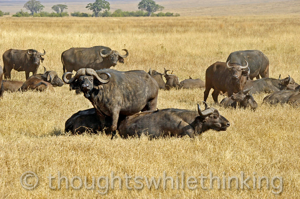 A dominant male Cape Buffalo, probably in the 8-10 year old range. Note the massive, fused horns on the top of his head, while the females have more slender horns. Younger and older bulls roam the savanna in bachelor herds or singularly.