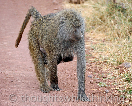 female olive baboon with baby hanging on underneath