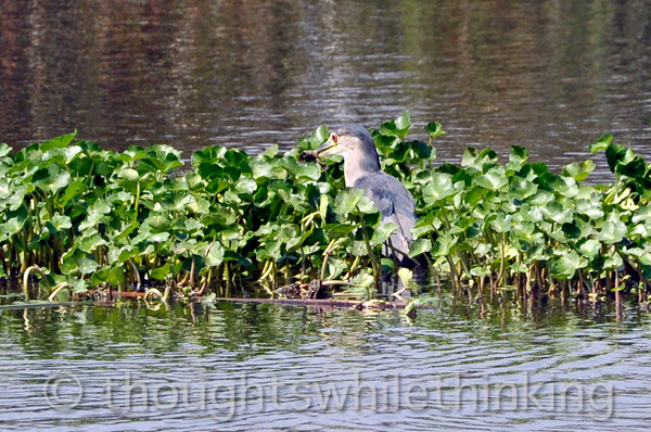 This blackcrowned night heron just caught a frog.
