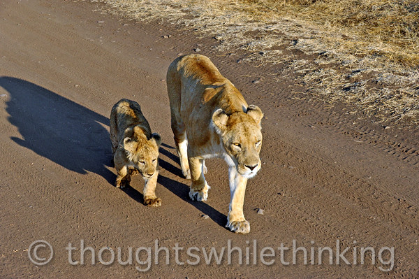 Lioness and one of her cubs.