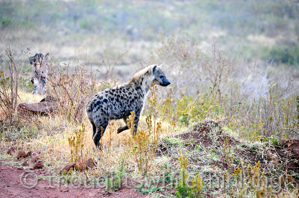 Spotted hyena society is female dominated. They are larger than the males. The den is often appropriated from an aadvark or warthog.
