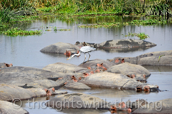 Ok, here they are - the hippos, complete with the resident on-duty grey heron.