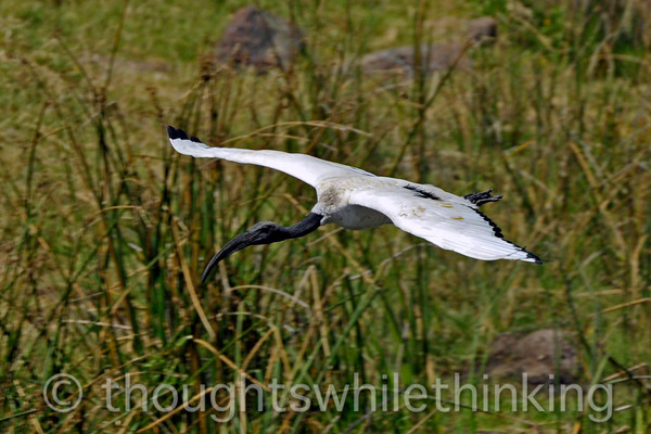 A sacred ibis on final approach to the hippo pool