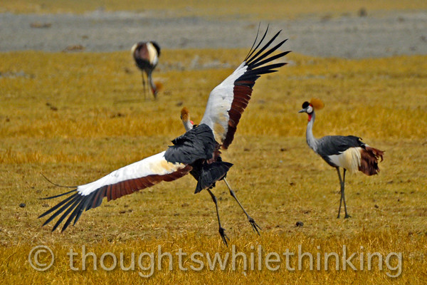 A late arrival to the grey crowned crane luncheon.