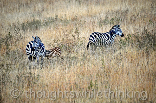 Plains zebra. Ears forward in an alert status.