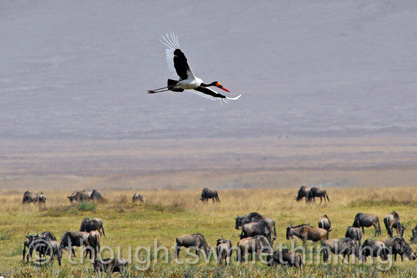 A saddle-bill stork sailing over the hippo pool.