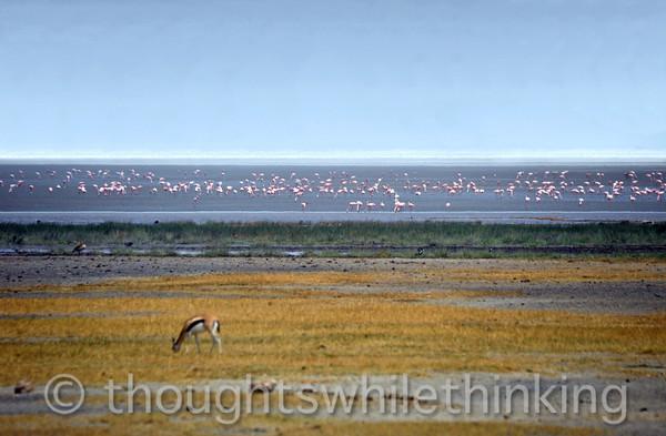lesser flamingos on Lake Magadi, or Lake Makati in Maasai
