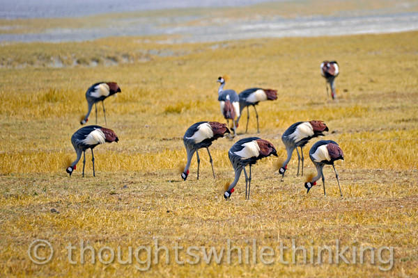 A flock of grey crowned cranes, heads down, pecking away at seeds.
