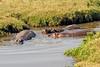 Looks peaceful enough, but hippos are the most dangerous large animal in Africa, known to attack canoeists and human swimmers. They can run 30 mph. How fast can you run? They usually come out of the water at night to graze on whatever is available.