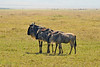 Dad, Mom and teenage wildebeest on the plains in Ngorongoro Crater.