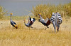 A family of grey crowned cranes taking exception to a passing zebra.