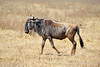 wildebeest, constantly on the move