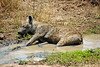 spotted hyenas have a way to beat the heat