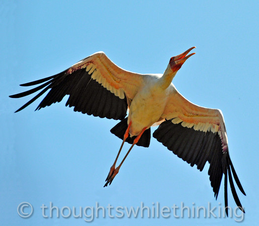 yellow-billed stork in flight
