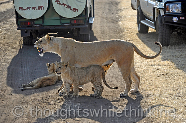She gives a roar to let the intruders know that she means business. One cub takes an interest.