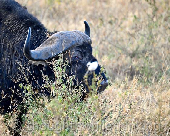 Cape buffalo, keeping an eye on the shrike.