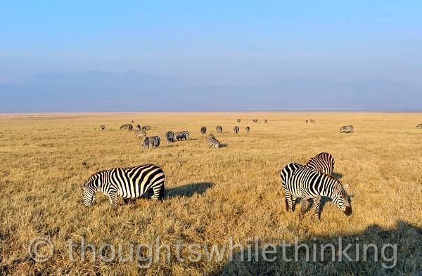 Plains zebra. The eat the longer grasses, preparing the savanna for wildebeest and other short-grass grazers.