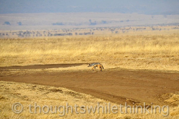 black-backed jackal. Not often seen in the daytime. Mates for life.