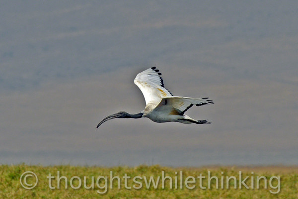 A sacred ibis cruising above the hippo pool