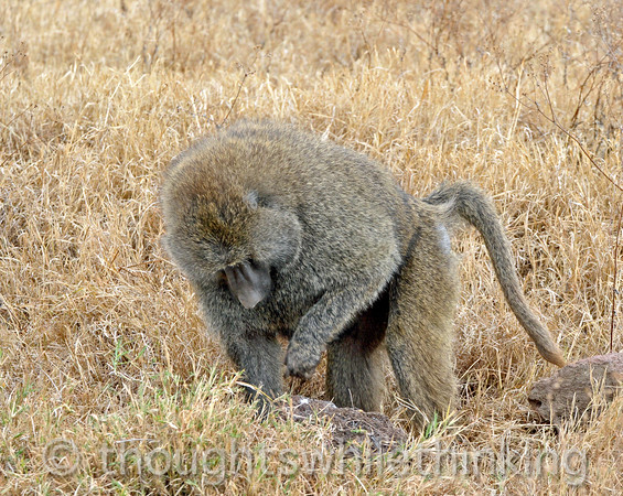 male olive baboon, having just flipped over a rock, looking for scorpions