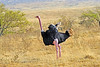 Common ostrich - a male, displaying by ruffling its considerable collection of feathers. The pinkish hue of its neck and legs indicate that it is excited. It is the biggest and fastest running bird in the world. Too bad it is also flightless.
