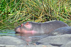 immature hippo on the edge of the pool