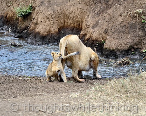 mom has a drink, but the cub has found a toy