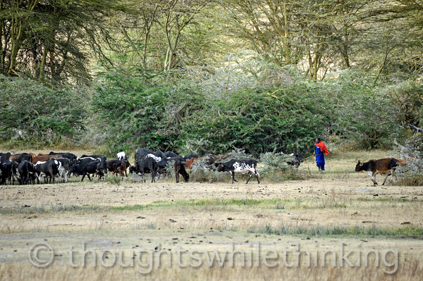Maasai herding cattle in Ngorongoro Crater