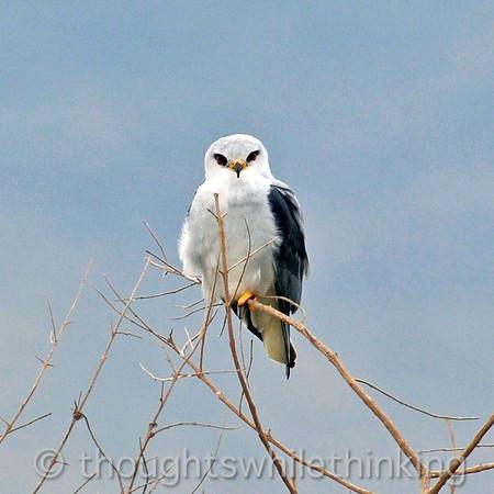 black-shouldered/black-winged kite
