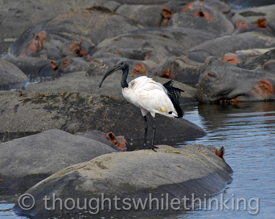 a sacred ibis gets into the back-of-a-hippo act