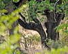 leopard in the Lerai Forest