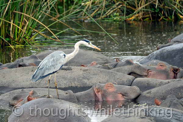 the on-duty gray heron is once again watching over the hippos