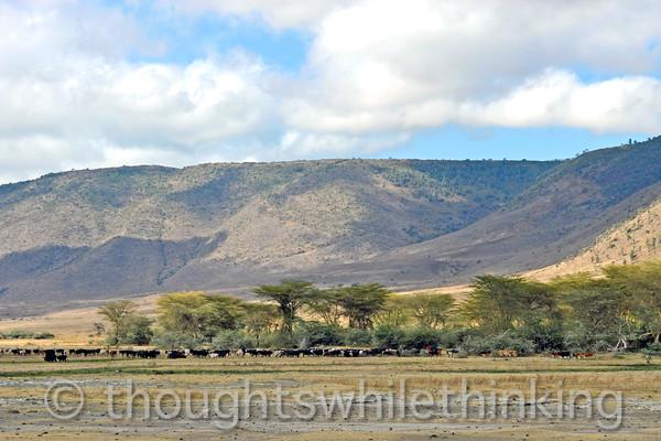 Maasai herding cattle in Ngorongoro Crater