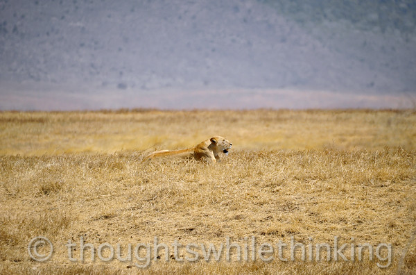 lioness looking for a snack in the heat of the day