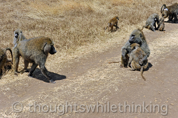 could be trouble; female olive baboon holds her young close