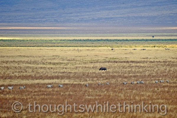our best and only view of a black rhino in Ngorongoro Crater, on the move and far away; very elusive and reclusive; excellent hearing and sense of smell make it hard to get close; in fact, since these animals are so sensitive, we keep our distance so as to minimize disturbing them
