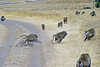 a fight breaks out, three against one; after a brief chase and threatening posturing, it ended with no physical harm done; apparently, this is fairly common in baboon troops