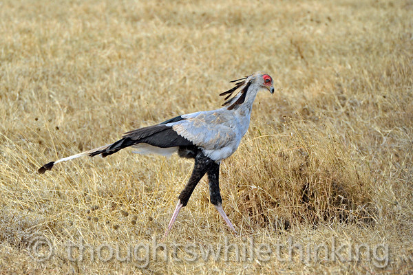 """secretarybird  According to Wikipedia and Kennedy's """"Birds of the Serengeti"""", """"...""""secretary"""" is borrowed from a French corruption of the Arabic saqr-et-tair or """"hunter-bird.""""""""."""