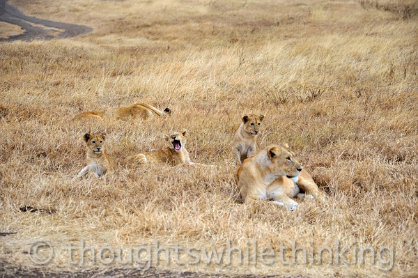 two lionesses and three cubs just after 7 am