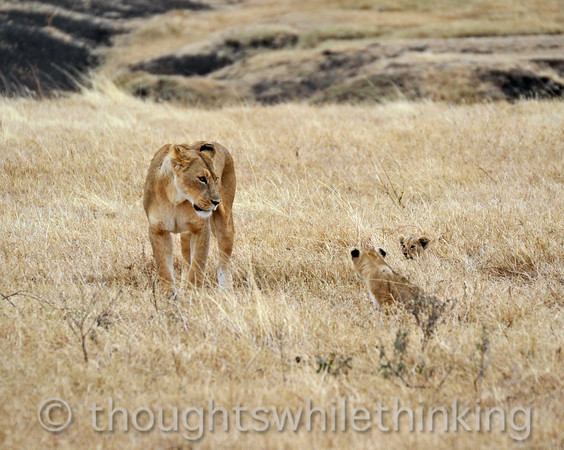 Ngorongoro Crater lioness contemplating her cubs