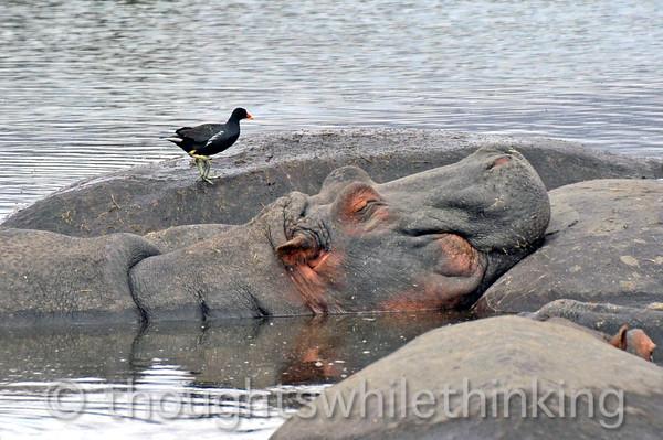 a common moorhen among the hippos
