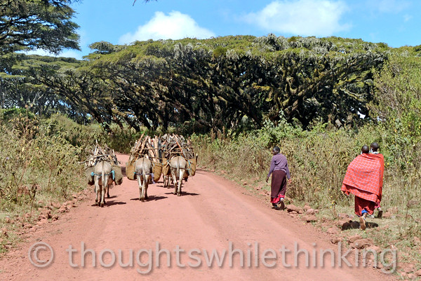 three Maasai women with their donkeys carrying wood back to their village