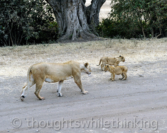 lioness and her two cubs out for a stroll along the road; one of the cubs is up to somehting
